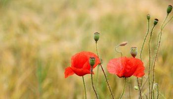 poppy-3226632_1280